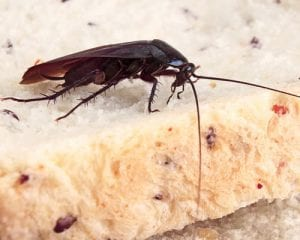 Cockroach contaminating food